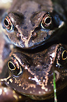 Amplexus-Common Frog-Rana temporaria