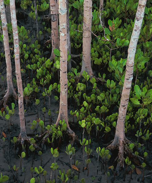 Mangrove Shoots<br /> Cairns Mangrove Boardwalk<br /> FNQ