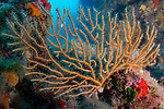 Yellow gorgonian (Eunicella cavolinii)