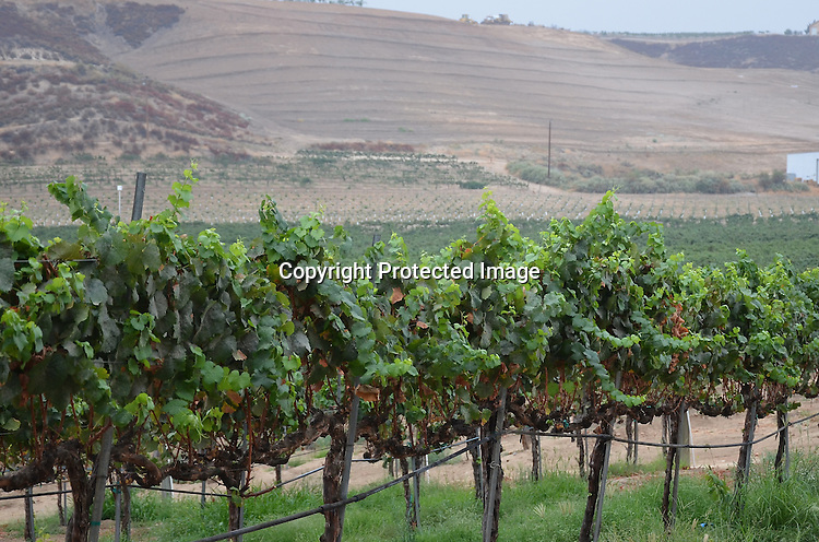 Royalty Free Stock photo of a vineyard