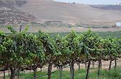 Royalty Free Stock photo of a vineyard