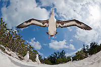 Laysan Albatross (Phoebastria immutabilis) taking flight from beach, fish-eye lens view, Sand Island, Midway Atoll, USA