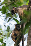 Lumholtz's Tree-kangaroo (Dendrolagus lumholtzi) mum and grown joey high up on a tree. The Lumholtz's tree-kangaroo is primarily a leaf eater, but also occasionally consumes fruits and flowers from quite a wide variety of native rainforest trees. It is also known to feed on the leaves of wild tobacco and lantana, both invasive weeds. A heavy-bodied tree-kangaroo is found in rain forests of the Atherton Tableland.  Its status is classified as least concern by the IUCN, although local authorities classify it as rare. It is named after the Norwegian explorer Carl Sofus Lumholtz. It is the smallest of all tree-kangaroos, with males weighing an average of 7.2 kg (16 lbs) and females 5.9 kg (13 lbs).[5] Its head and body length ranges from 480–650 mm, and its tail, 600–740 mm.[6] It has powerful limbs and has short, grizzled grey fur. Its muzzle, toes and tip of tail are black.