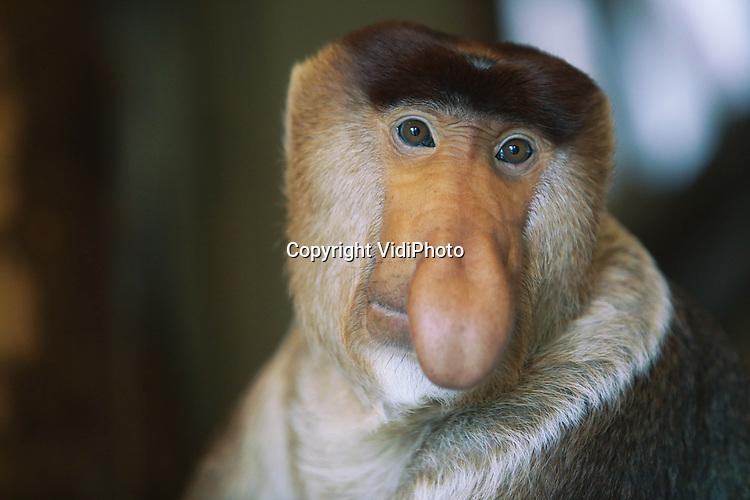 Foto: VidiPhoto<br /> <br /> APENHEUL - De laatste nog levende neusaap van Europa, Bagik in Apenheul, heeft een nieuw en wel heel bijzonder maatje. Nadat in de zomer van 2012 neusaap Bena het leven verloor door een hartkwaal en neusaap Julau begin dit jaar overleed door leverfalen, bleef Bagik alleen achter. Om de eenzaamheid van de zeldzame aap op te lossen, heeft Apenheul de Javaanse langoer Carrot (vrouwtje) nu tijdelijk bij Bagik geplaatst. Een bijzonder en uniek experiment dat een groot succes blijkt. Behalve dat de karakters van Bagik en Carrot bij elkaar passen, eten ze ook hetzelfde voedsel (voornamelijk bladeren). Apenheul is in overleg met de dierentuin van Singapore, waar de neusapen vandaan komen, voor een definitieve oplossing. In Europa is Apenheul de enige dierentuin met neusapen.
