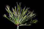 Papyrus, Cyperus papyrus (papyrus sedge, paper reed, Indian matting plant, Nile grass) is a species of aquatic flowering plant belonging to the sedge family Cyperaceae