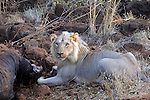 Africa, Kenya, Meru. Lion feeding on the leg of an elephant carcass.
