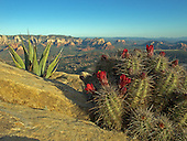 Looking out over a Hedge Hog cactus in bloom and a small agave out to Sedona in the distance.