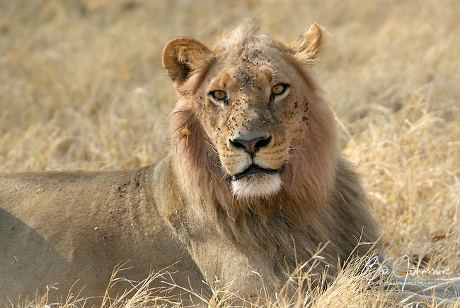 Male lion (panthera leo) in the soft morning light.<br /> The Xakanaxa side of Moremi in the Okavango Delta, Botswana.<br /> September 2007.