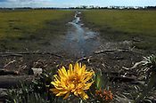 Gumweed grows in the south wetlands area of the Napa River, in Napa, California, USA. The south wetlands was purchased to hold excess water during heavy rains and high tides, to help prevent flooding in the urban areas. The area floods twice a day in high tide.