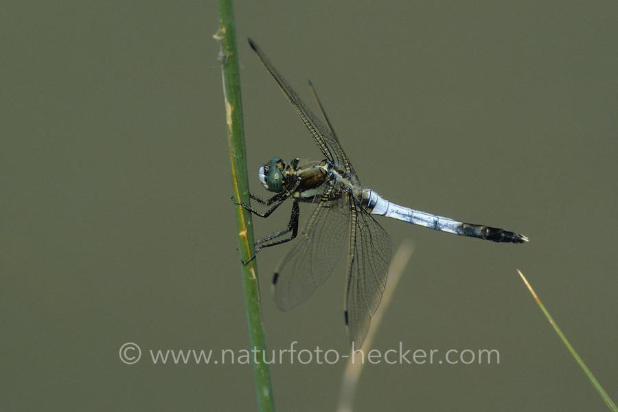 Östlicher Blaupfeil, Männchen, Orthetrum albistylum, white-tailed skimmer, male