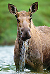 Moose cow feeds in Wonder Lake, Denali National Park, Alaska, USA