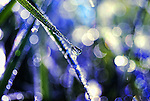 Nature's Diamonds - Close up of droplets of dew on grass against blue background with bokeh.