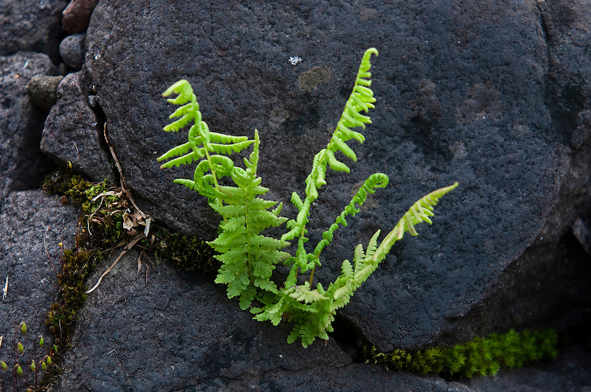 A fern grows from a crack in dark rocks at Isle Royale National Park.