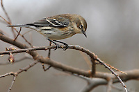 Yellow-rumped Warblers are fairly large, full-bodied warblers with a large head, sturdy bill, and long, narrow tail.