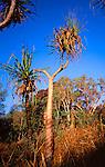 Pandanus Screw Palm, Kakadu National Park, Northern Territory