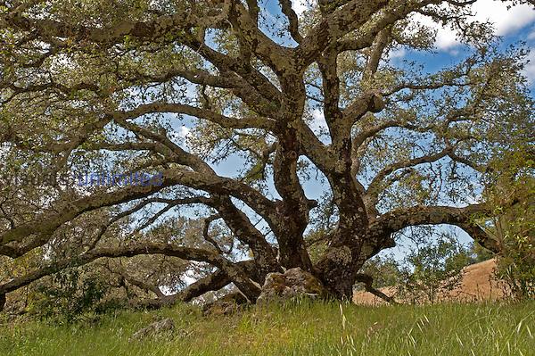 Coast Live Oak (Quercus agrifolia), Pepperwood Preserve, Santa Rosa, California, USA.