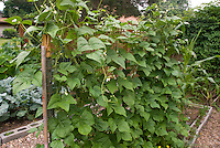 Growing beans on trellis in vertical vegetable garden