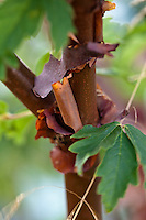 The copper-colored, peeling bark of the Paperbark Maple (Acer griseum)