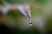 A drop of water hangs suspended on a leaf after a rain near the Napa River.