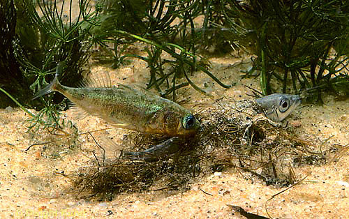 1S49-021z  Three Spined Stickleback - male prodding female's tail to start egg laying, female in nest - Gasterosteus aculeatus