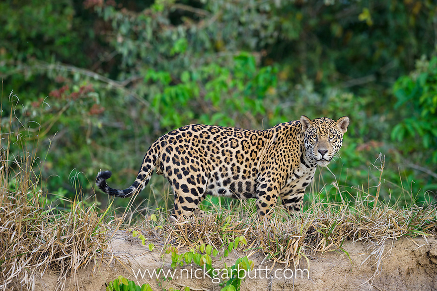 Wild male Jaguar (Panthera onca palustris) walking along the bank of the Cuiaba River in late afternoon sun light. Northern Pantanal, Brazil.
