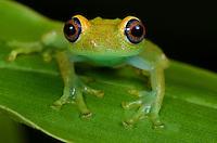 Green Bright-Eyed Tree Frog (Boophis Viridis) Madagascar.