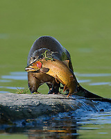 River Otter (Lontra canadensis) with trout it has just caught.  Western U.S., summer.