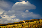Guanaco with cria, Torres Del Paine National Park, Chile