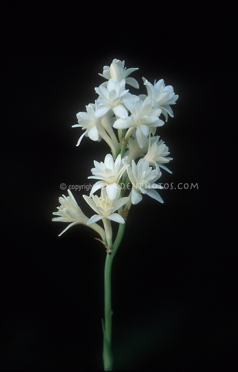 Tuberose (Polianthes tuberosa) The Pearl flowers on a tall stem, black background