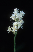 Tuberose (Polianthes tuberosa) flowers on a tall stem, black background