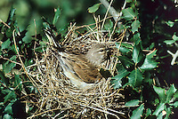 Blut-Hänfling, Bluthänfling, Hänfling, Weibchen brütend auf dem Nest, Carduelis cannabina, Acanthis cannabina, linnet