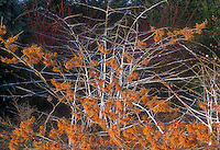Hamamelis x intermedia Copper Beauty aka Jelena Witch hazel in late winter / early spring bloom