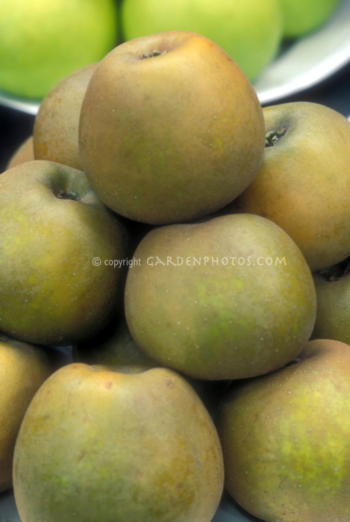 Apple 'Golden Russet' Malus domestica fruit dessert apples