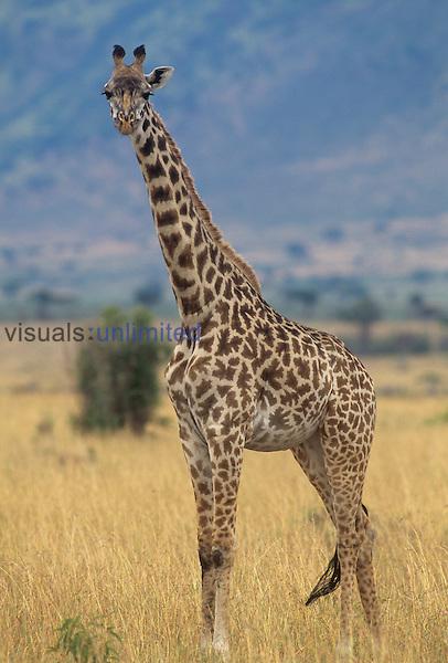 """Giraffa camelopardalis.A Masai Giraffe..""""Masai Mara, Kenya, Africa"""".."""
