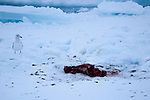Remains of a dead seal, watched over by a seagull, killed and eaten by a polar bear in Fram Strait, between Greenland and Svalbard.