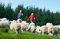Ballycastle, Northern Ireland, United Kingdom, May 2011. Jillian helps rounding up the sheep in the morning.  Watertop Farm is the hill farm of Patsy and Terry McBride.The name Watertop was chosen for the farm as a part of the Carey river rises as a fresh water spring nearby. The farm is a sheep farm, and keeps about 500 sheep, and 30 cows. In 1986 it opened to the public and became the first open farm in Ireland. Watertop farm is also a camping with caravan and tent sites with watrer and electricity. Famed in poetry, song, myth and magic there are nine Glens of Antrim, each endowed with an evocative name and each weaving its own special magic. Lush, green secret places with the sound of water alternately softly swirling, then falling in dramatic torrents, the nine Glens delight the senses.  Entwined with their rich beauties are equally diverse and magical stories, combining the colourful history, myth and the traditions of the communities within the glens. For decades travellers stayed away from the sectarian violence, but since the end of'The Troubles' more and more people start discoving the beauty of Belfast and the Antrim Coast Causeway. Photo by Frits Meyst/Adventure4ever.com