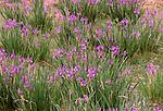 Siberian Iris, Gobi Gurvansaikhan National Park, Mongolia