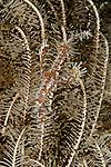 Ornate ghost pipefish (Solenostomus paradoxus).