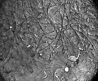 "Lateral view of the wall of the mammal (rodent) epididymis ahowing the lining with long microvilli. Sperm flagella and residual cytoplasm are also seen. Sperm are often embedded in the microvillous border of the epithelial cells and when removed depressions often remain in their place. SEM X715  3.5"" X 4.5""  **On Page Credit Required**"