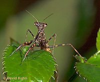 "0203-07mm  Budwing Mantis ""Nymph"" - Parasphendale agrionina ""Nymph"" © David Kuhn/Dwight Kuhn Photography"