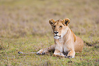 Lion, Masai Mara, Kenya, Africa