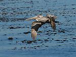 brown pelican in flight, Monterey Bay