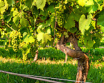 Grapes ripen in the sunny vineyard at General's Ridge Vineyard and Winery.  (HDR image)