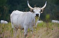 Hungarian Grey cattle (Bos primigenius) , Duna Drava National Park, Mohacs, Hungary