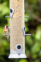 Goldfinch perched on a birdfeeder, Oxfordshire, United Kingdom
