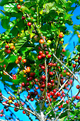 Coffee beans (coffee cherries) on tree, Ka'anapali, Maui