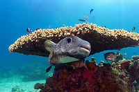 The spotted porcupinefish, Diodon hystrix, feed primarily at night on hard shelled invertebrates.  Sipidan Island, Malaysia.