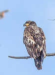 An immature bald eagle sits in a tree in Yellowstone.