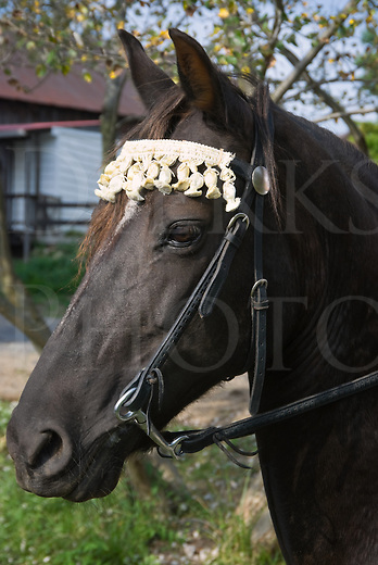 Head shot of a black Morgan horse decorated with a fancy browband.