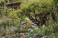 Evergreen shrub, Vine Hill Manzanita Arctostaphylos densiflora in front yard of Kyte California native plant garden